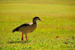 Egyptian goose walking Royalty Free Stock Photo