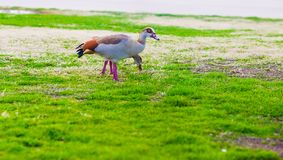 Egyptian Goose walking a lawn Royalty Free Stock Images