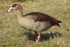 Egyptian Goose. Walking in the meadows Stock Photography
