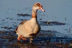 Egyptian Goose walking in the mud. In the evening looking to the right Royalty Free Stock Photography