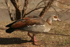 Egyptian goose. The goose was at a Holiday Resort in the Drakensberg. It was early morning Stock Image