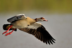 Egyptian Goose. This goose was photographed during take off hence the water droplets on his body Royalty Free Stock Images