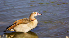 Egyptian goose in Water Royalty Free Stock Photo