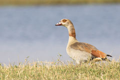 Egyptian Goose by water edge Stock Images