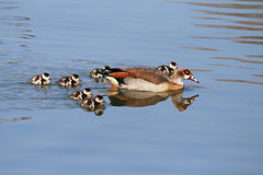 Egyptian Goose With Goslings Stock Photography