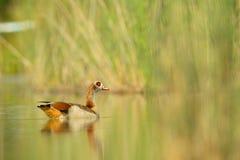 Egyptian goose & x28;Alopochen aegyptiacus& x29; Royalty Free Stock Image