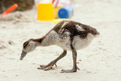 Egyptian gosling on beach Royalty Free Stock Photos