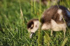 Egyptian gosling in the meadow of Bushy park, london royalty free stock images