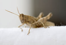 Egyptian grasshopper Stock Photo