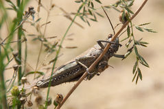 Egyptian Grasshopper Royalty Free Stock Photo