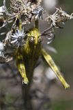 Egyptian grasshopper (anacridium aegyptium) Royalty Free Stock Image