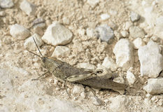 Egyptian Grasshopper Stock Images
