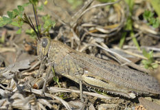 Egyptian Grasshopper Stock Photography