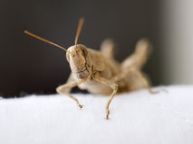 Egyptian grasshopper close up. Close up of the head of an Egyptian grasshopper Royalty Free Stock Image
