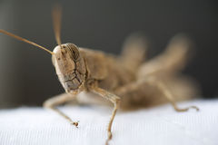 Egyptian grasshopper head. Close up of an egyptian grasshopper's face Royalty Free Stock Images