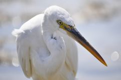 Egyptian heron Royalty Free Stock Images