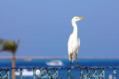 Egyptian heron - Bubulcus ibis Stock Photos