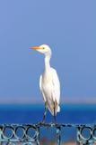 Egyptian heron - Bubulcus ibis Royalty Free Stock Images