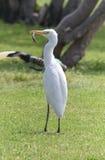 Egyptian heron - Bubulcus ibis Stock Photography