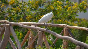 Egyptian heron - Bubulcus ibis Stock Image