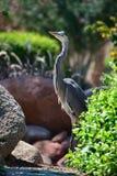 Egyptian heron - Bubulcus ibis Stock Photo
