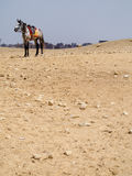 Egyptian Horse Saddled for Tour Rides in Cairo. A horse stands in the distance in the desert landscape of Egypt waiting for tourists to ride Stock Photography