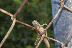 Egyptian Locust Clinging to an Old Chain Link Fence royalty free stock photography