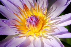 Egyptian Lotus Flower Stock Photo