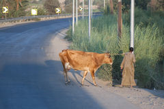 Egyptian man with cow Stock Photography
