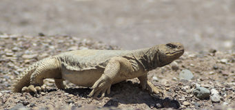 Egyptian Mastigure (Uromastyx aegytius) stock photography