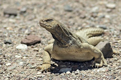 Egyptian Mastigure (Uromastyx aegytius) royalty free stock photography