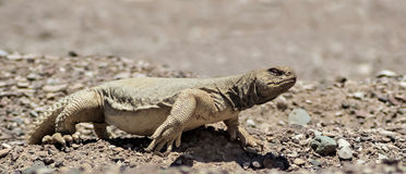 The Egyptian Mastigure (Uromastyx aegytius) stock image