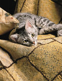 Egyptian mau. Lying on a textured oriental style blanket vertical crop Stock Photo