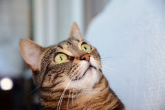 Egyptian Mau cat - amazed Stock Image