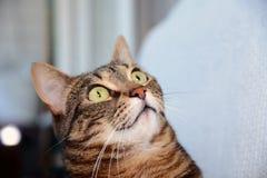 Egyptian Mau cat - amazed Stock Image