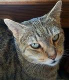 Egyptian Mau Cat. An Egyptian Mau cat basking in sunlight Stock Photo