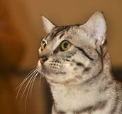 Egyptian Mau cat Stock Image