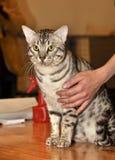 Egyptian Mau cat Royalty Free Stock Image