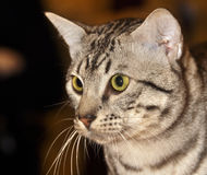 Egyptian Mau cat Royalty Free Stock Photography