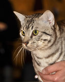 Egyptian Mau cat Stock Photos