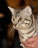 Egyptian Mau cat Stock Photos