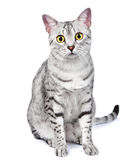 An Egyptian Mau Cat Looks Directly at Camera Royalty Free Stock Photography