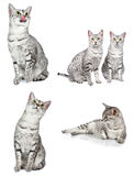 Egyptian Mau Cats Stock Images