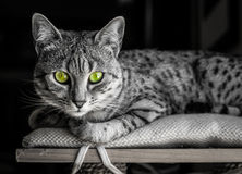 Egyptian Mau with Green Eyes Stock Photography