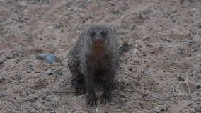 An Egyptian mongoose Herpestes ichneumon, also known as ichneumon,. Looks around for his mates in the desert of North Africa stock video footage