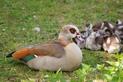 Egyptian nile geese Royalty Free Stock Photography