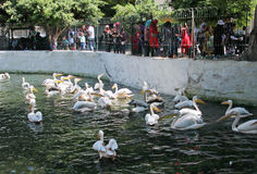 Egyptian people watching pelicans. At the egyptian zoo in cairo royalty free stock photo