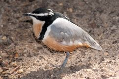 Egyptian plover Royalty Free Stock Image