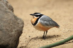 Egyptian plover Stock Image