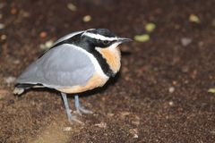 Egyptian plover. Standing in the soil Royalty Free Stock Photos